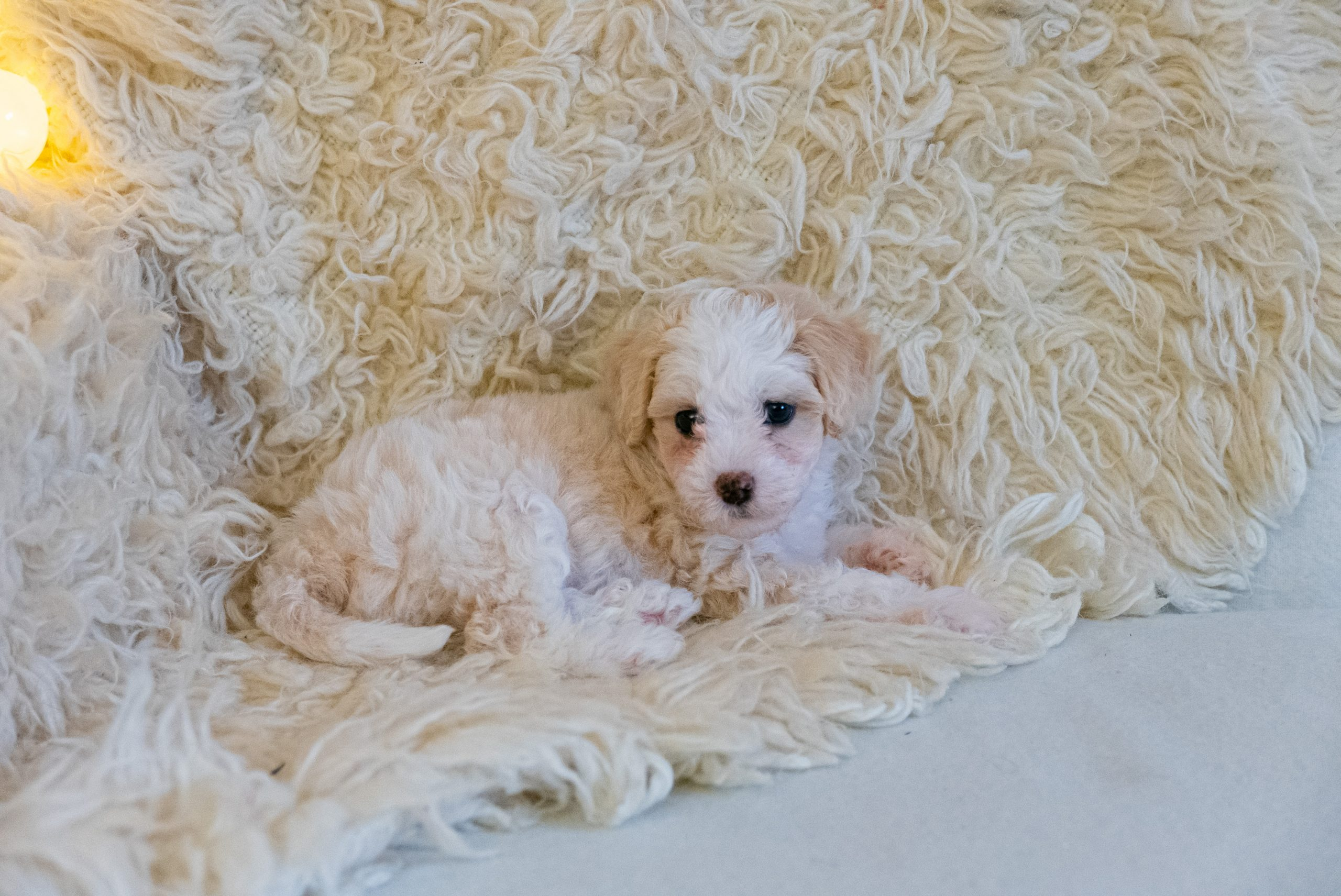 Chinese Crested powderpuff puppy on the white coat